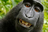 selfie monkey - david slater